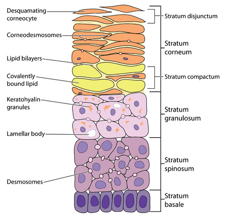 Detailed view of the skin layers, from the outermost desquamating corneocytes to the basal cells.  Illustration
