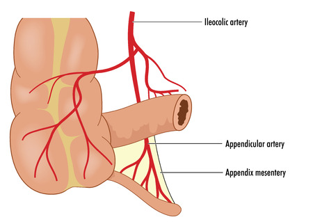 small bowel: Blood supply to the appendix, from the ileocolic artery down to the appendicular artery and mesentery. Created in Adobe Illustrator.  EPS 10