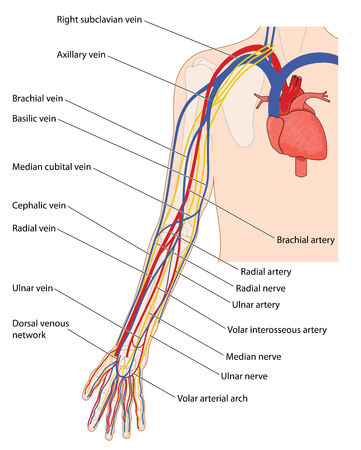 Arteries, veins and nerves of the arm, from the heart down to the fingers. Created in Adobe Illustrator.