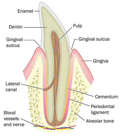 cementum: Cross section of tooth showing the bone, gum, dentin and enamel, plus the nerve and blood supply. Created in Adobe Illustrator.  EPS 10.
