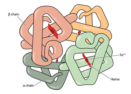 Structure of the haemoglobin hemoglobin molecule showing alpha and beta chains, heme groups and iron atoms. Created in Adobe Illustrator.  EPS 10 Illustration