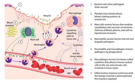 Chemische en cellulaire factoren betrokken bij de ontstekingsreactie op weefselschade en reparatie. Stock Illustratie