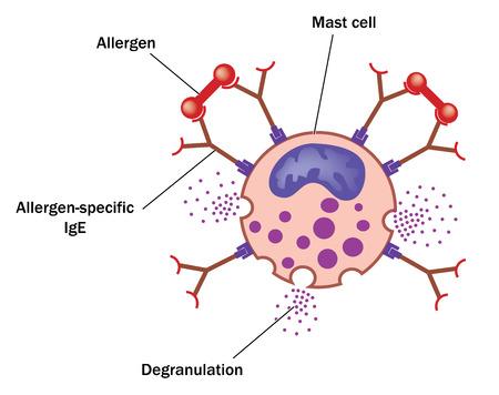 Alérgeno unido a IgE específica del alérgeno en un mastocitos dando como resultado la desgranulación de aminas vasoactivas. Creado en Adobe Illustrator. 10 EPS.