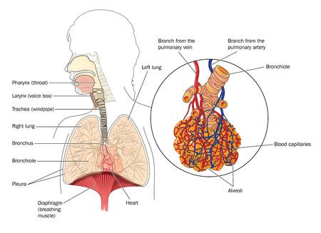 alveolos: El sistema respiratorio de la boca a los pulmones con el detalle de los bronquiolos y los alvéolos con red capilar.