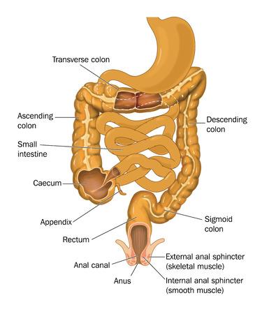 intestino grueso: El intestino o canal alimentario desde el estómago hasta el ano que muestra las divisiones del intestino grueso, el intestino delgado y el canal anal