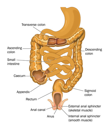 descending colon: The gut or alimentary canal from stomach to anus showing the divisions of the large intestine, the small intestine and anal canal