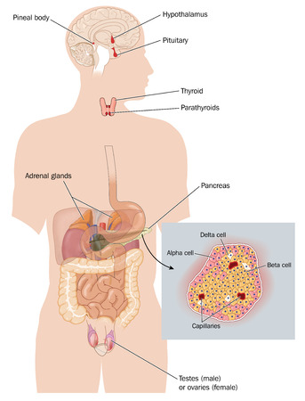 Organs that form the endocrine system and sites of hormone production Stock Photo