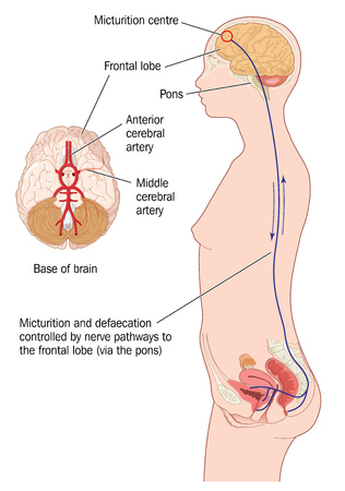 micturition: Nerve pathways from the frontal lobe of the brain to the urinary bladder and rectum in the control of continence