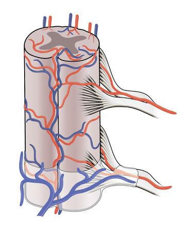 medula espinal: Los principales vasos sanguíneos que irrigan la médula espinal que muestra ambos anterior y posterior de la columna vertebral venas y arterias