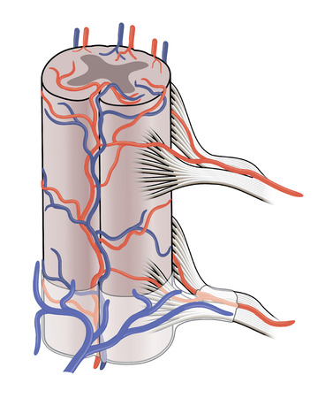posterior: The main blood vessels supplying the spinal cord showing both anterior and posterior spinal veins and arteries