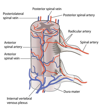 central cord: The main blood vessels supplying the spinal cord showing both anterior and posterior spinal veins and arteries
