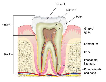 cementum: Cross section through a molar tooth showing the crown and root plus the gum, bone, blood vessels and nerves.