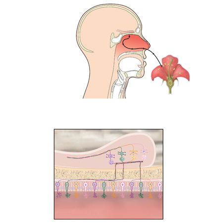 pituitary gland: Transmission of smell showing scent reaching olfactory bulb and nerve signals passing to the brain for perception of smell. Stock Photo