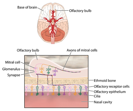 ethmoid: Location of the olfactory bulb and detail of sensory cells and nerve connections