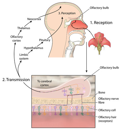 Transmission of smell showing scent reaching olfactory bulb and nerve signals passing to the brain for perception of smell. Фото со стока