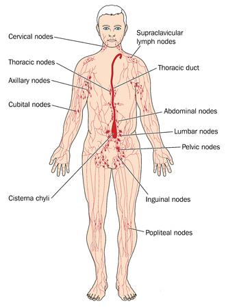 Principali linfonodi e vasi linfatici tra cui la cisterna chyli e il canale toracico Archivio Fotografico - 78085439