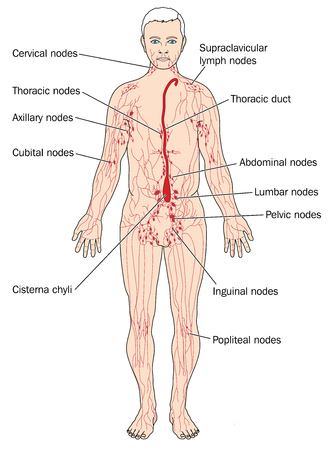 Main lymph nodes and lymph vessels including the cisterna chyli and thoracic duct Illustration