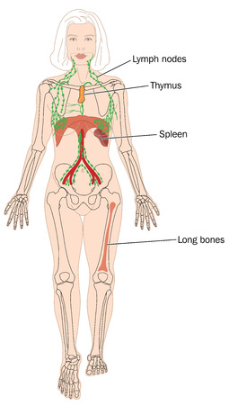 Sites of blood cell production, including the bone marrow and lymph nodes