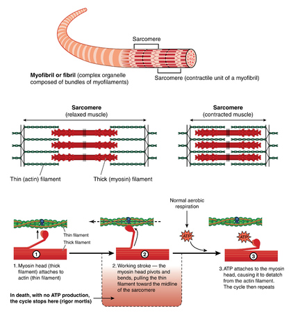 Detail of a muscle sarcomere showing thin and thick filaments and mechanism of mechanical contraction Иллюстрация