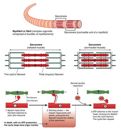 Detalle de un músculo sarcómero mostrando filamentos finos y gruesos y mecanismo de contracción mecánica
