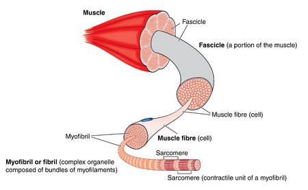 Anatomy of a muscle from gross structure to the level of the myofibril and sarcomere Stock Illustratie
