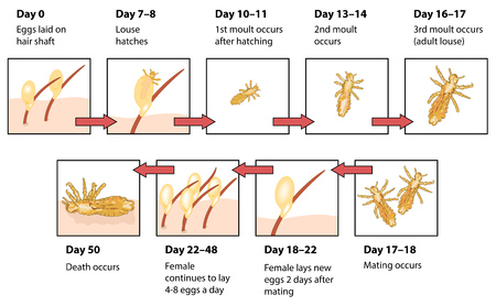 molting: The life cycle of head lice showing eggs on hair shaft, hatching, moulting, mating and death of lice in human hair