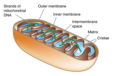 Cross section through a mitochondrion showing matrix, cristae and mitochondrial DNA Illustration