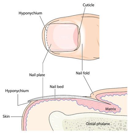 distal: La uña del dedo que muestra el detalle de la uña y la cama de uñas