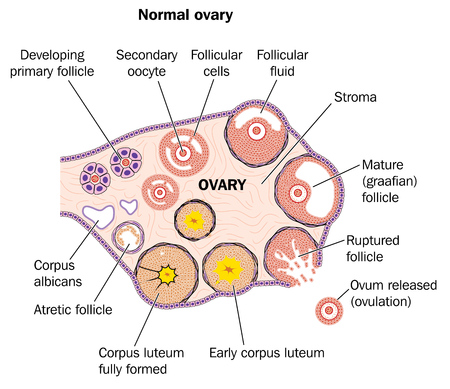 corpus: Cross section through a normal ovary showing developing follicles and ovum release