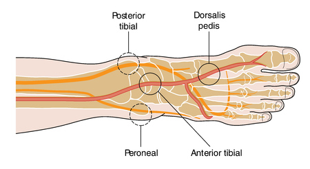 pulses: Four major pulse points of the foot.  The pedal pulses. Illustration
