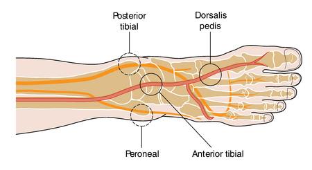 Vier belangrijke pulspunten van de voet. Het pedaal pulsen.