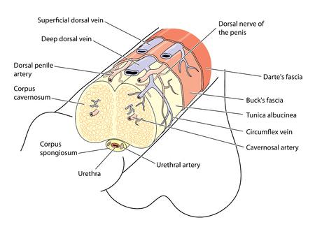 Anatomie van de penis die de belangrijkste structuren, bloedvaten en zenuwen toont