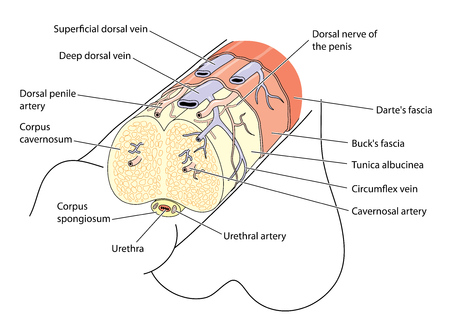 Anatomy of the penis showing the major structures, blood vessels and nerves
