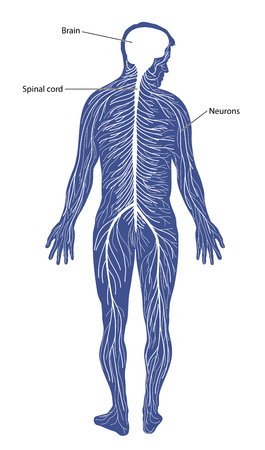 neurons: Schematic diagram of the nervous system, comprising of the brain, spinal cord and peripheral nerves.