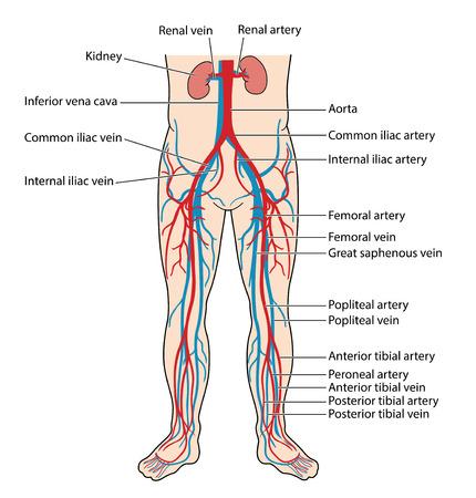 Die Hauptvenen und Arterien des Unterkörpers, einschließlich der Bauchaorta, der Vena cava inferior, der Oberschenkelarterie und der Vene der A. tibialis anterior und posterior und der Vene des Unterschenkels.