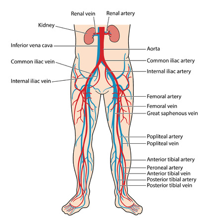 Les veines principales et les artères du bas du corps, y compris l'aorte abdominale, la veine cave inférieure, l'artère fémorale et la veine de l'artère et de la veine tibiales antérieures et postérieures de la jambe inférieure.