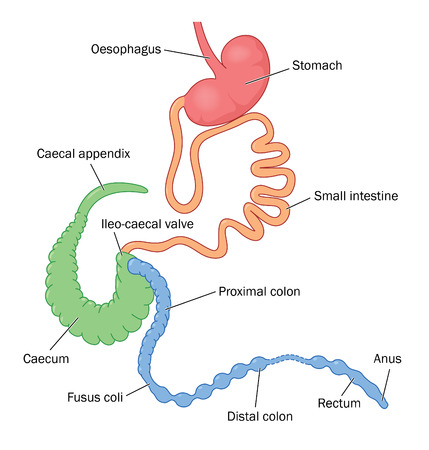 The digestive system of the rabbit, showing the enlarged appendix and caecum Stock Vector - 92745653