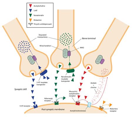 La acción de los antidepresivos tricíclicos en la hendidura sináptica entre las neuronas