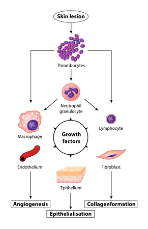 Growth factors involved in tissue regeneration following a skin lesion, showing the effect on blood cells, fibroblasts and epithelium
