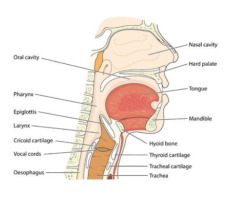 Przekrój przez głowę ukazujący nosogardziel, część ustną gardła i krtań