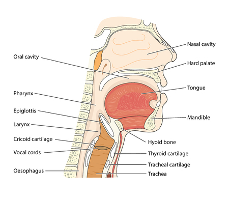 Cross section through the head showing the nasopharynx, oropharynx and larynx