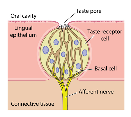 Vector drawing of the anatomy of a taste bud