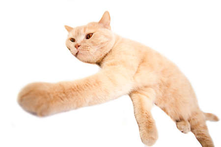 The big British red cat lies on a white background Stock Photo