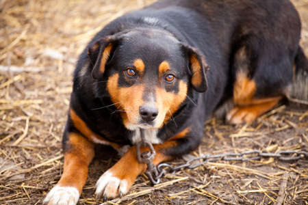 Old watchdog adhered on a chain with sad eyes Stock Photo