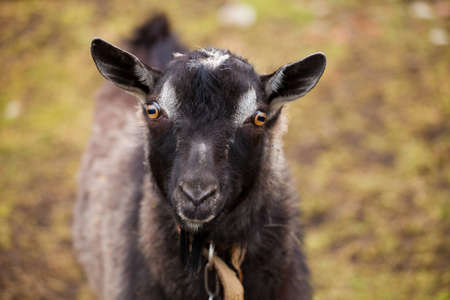 Black goat on a lead with beautiful eyes