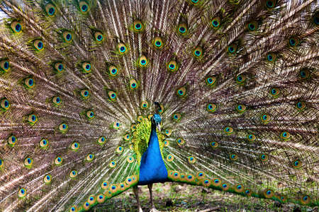 The beautiful peacock has fluffed up a tail showing the beauty