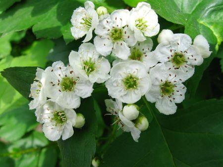 white flowers of medicative plant hawthorn (crataegus)