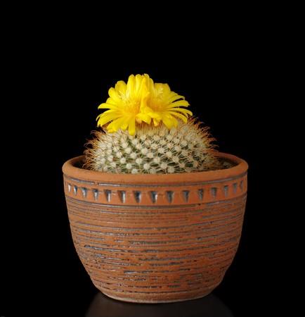 prickly flowers: cactus flower Parodia mutabilis in pot on black Stock Photo