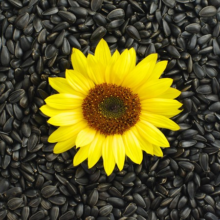 black seeds: sunflower on black seeds background