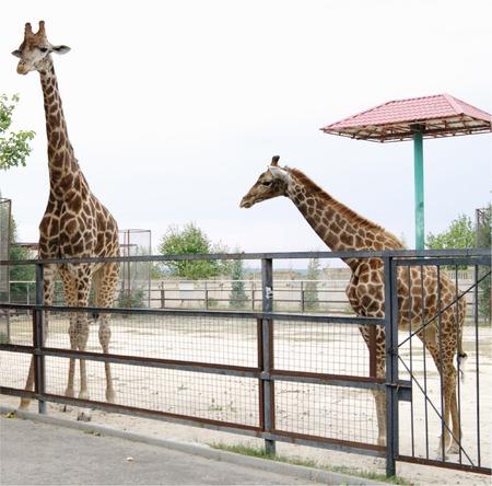 Giraffes in  aviary Safari Park Taigan  Crimea.